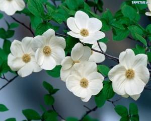 139766_krzew-biale-kwiaty